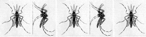 Images of Mosquitoes